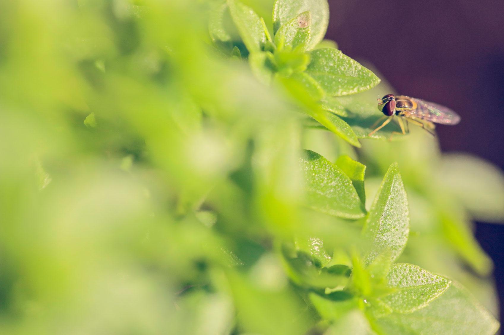 Tips alami basmi lalat di dalam rumah for Fliegen zimmerpflanzen